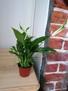 Mini Peace Lily indoor plant