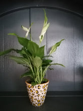 Load image into Gallery viewer, Mini Peace Lily indoor plant