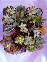 Load image into Gallery viewer, Tray of 20 mini mixed succulents - indoor plant