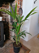 Load image into Gallery viewer, Kentia Palm Indoor Plant