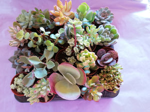 Tray of 20 mini mixed succulents - indoor plant