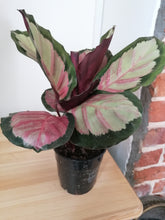 Load image into Gallery viewer, Calathea Roseopicta 'Rosy' Indoor plant
