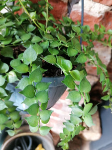 Dischidia Ruscifolia Million Heart Vine large - Indoor Plant
