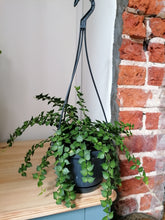 Load image into Gallery viewer, Dischidia Ruscifolia Million Heart Vine large - Indoor Plant