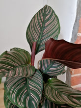 Load image into Gallery viewer, Calathea Sanderiana 'Pinstripe' indoor plant