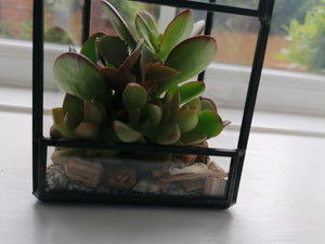 Mini Glass Terrarium with succulents - indoor plant