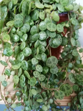 Load image into Gallery viewer, Peperomia Prostrata - String of turtles 11cm indoor plant