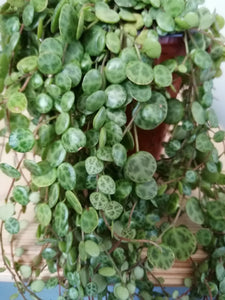 Peperomia Prostrata - String of turtles 11cm indoor plant