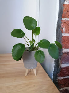 Pilea Peperomiodes chinese money indoor plant in mini tripod pot - Grey