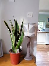 Load image into Gallery viewer, Sanseveria - Mother in laws tongue large indoor plant