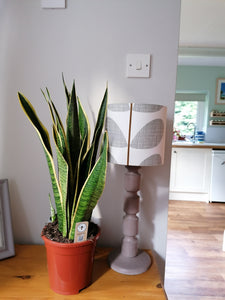 Sanseveria - Mother in laws tongue large indoor plant