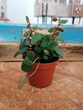 Load image into Gallery viewer, Mini Peperomia Pepperspot indoor plant - 6cm
