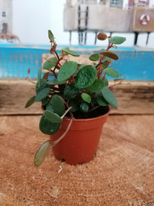 Mini Peperomia Pepperspot indoor plant - 6cm