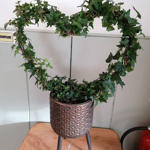 Ivy Heart - indoor or outdoor plant