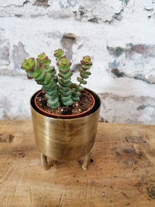 Mini Crassula Marnieriana  - Jades necklace/Worm plant indoor plant