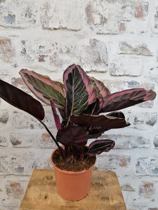 Calathea Roseopicta Rose indoor plant