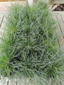 Festuca Glauca Compact Intense Blue Grass - outdoor plant