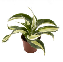 Load image into Gallery viewer, Mini Dracaena Dragontree 'Malaika' indoor plant