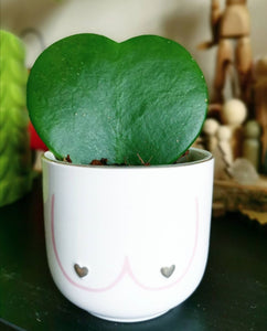 Hoya Kerrii love heart indoor plant