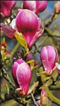 Load image into Gallery viewer, Magnolia Tree 'Rikki'