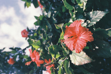 Hibiscus Flower: The Benefits You Need to Know