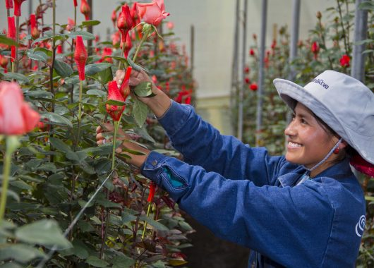 Rainforest Alliance Certified Roses from BloomsyBox