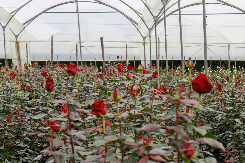 Roses being grown in a Rainforest Alliance Certified Rose Farms for BloomsyBox and Martha Stewart