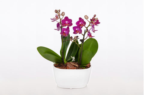 Amalfi Orchid Duo