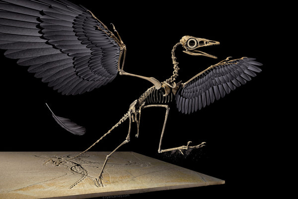 fossile archeopteryx