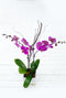 2 Stem Purple Orchid Plant