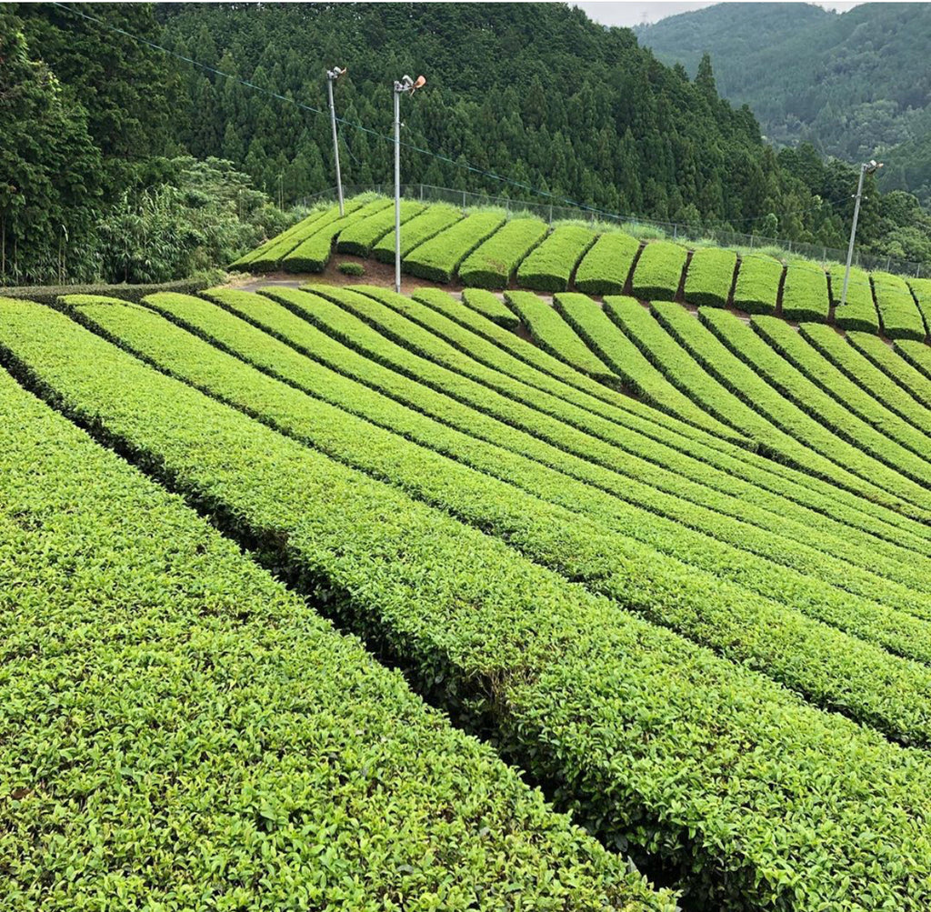 Matcha Tea Fields - Matcha Oishii