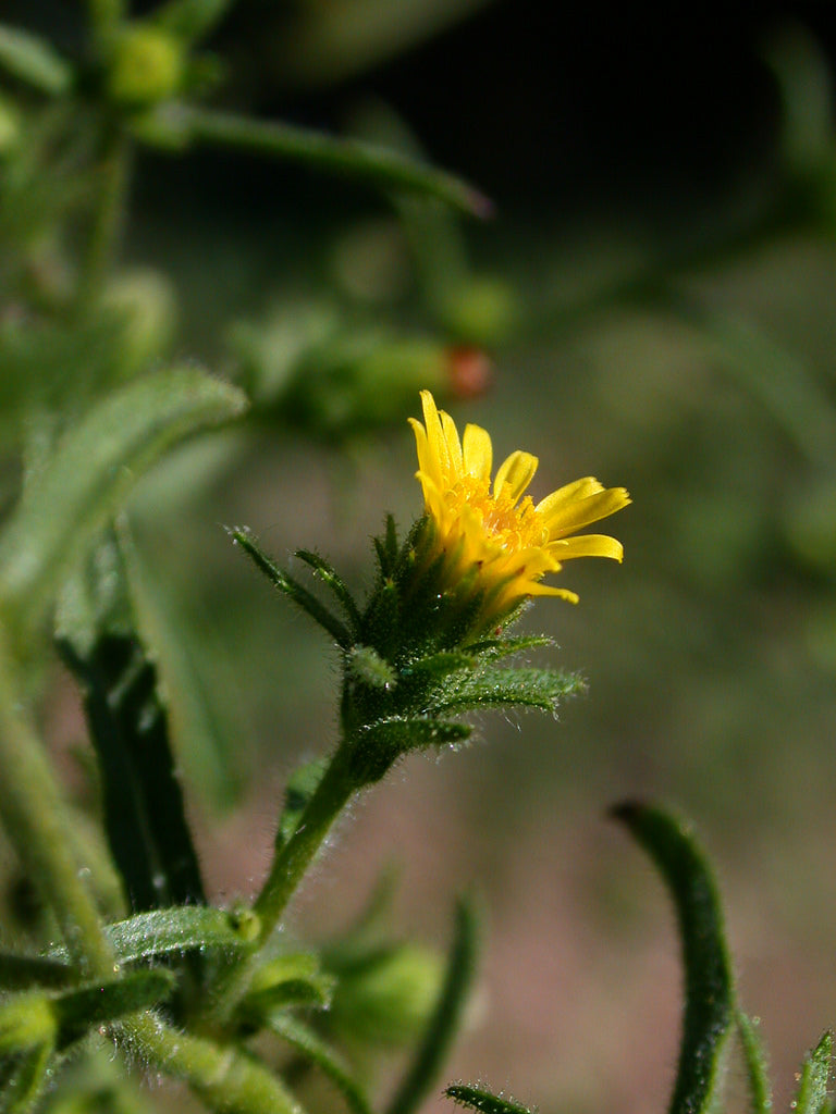 Inula Graveolens Essential Oil