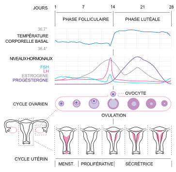 phase du cycle menstruel