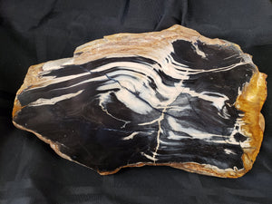 Small Petrified Wood Slab: Black, Cream