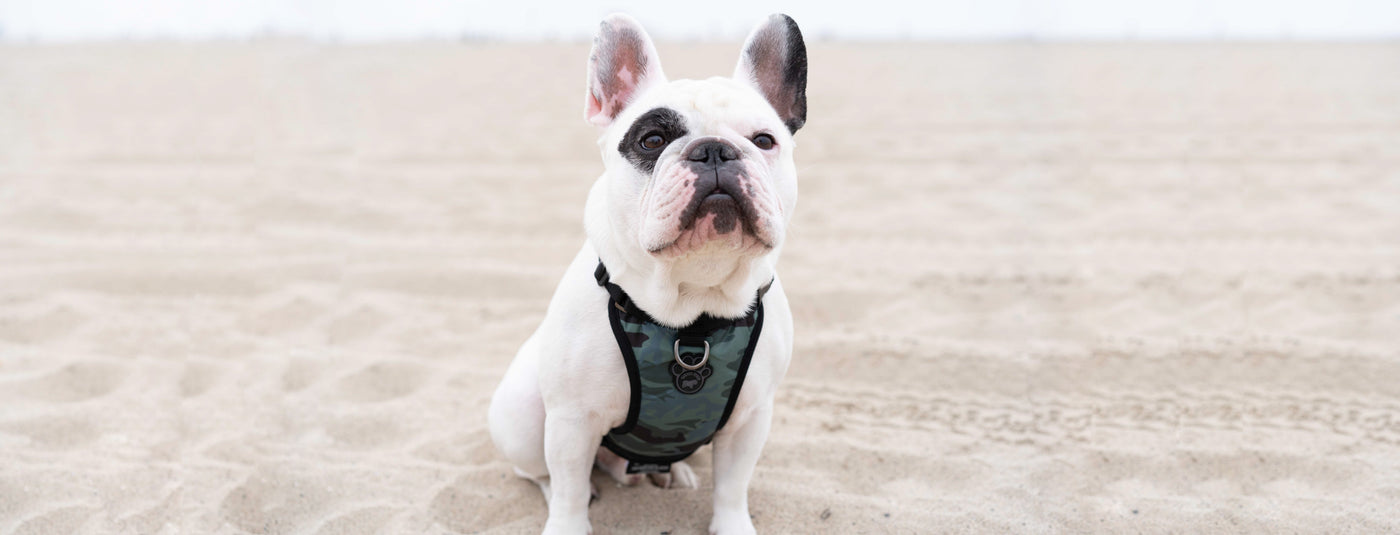 Harness vs. Collar: What Is the Best Option for Dog Walking?