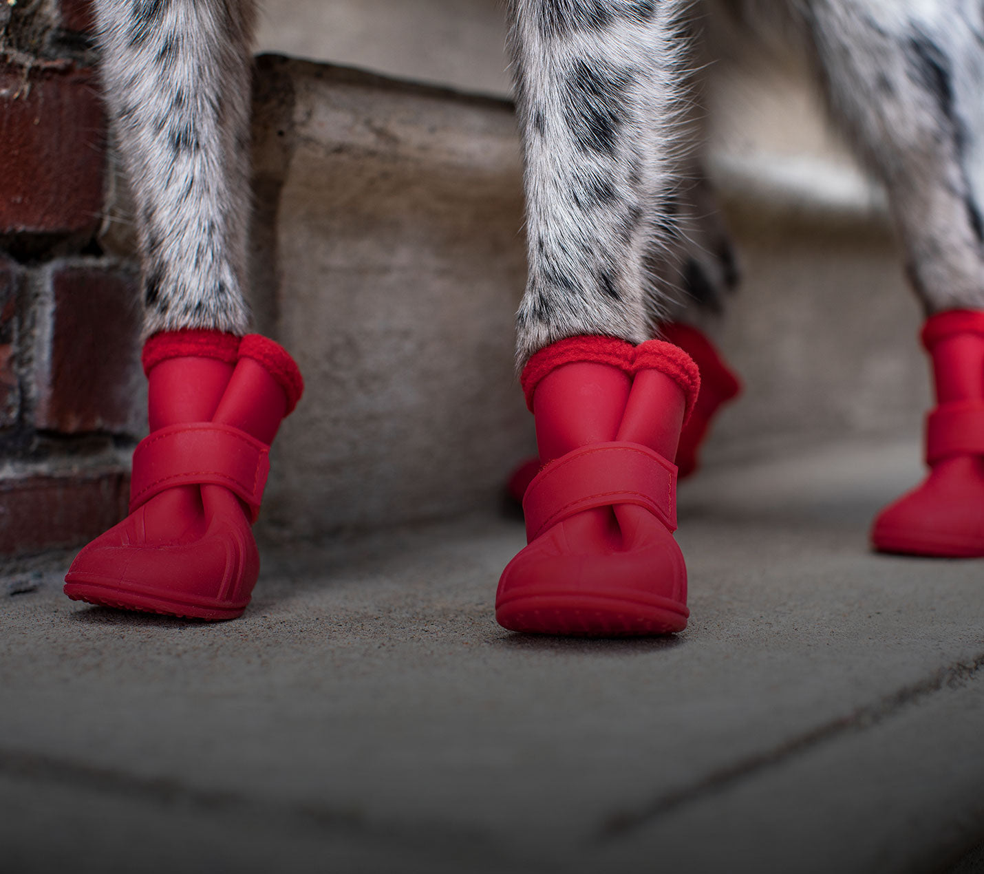 Dog wearing red winter dog boots