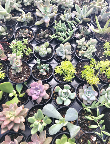 55mm Assorted Succulents