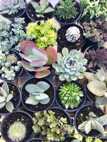 90mm Assorted Succulents