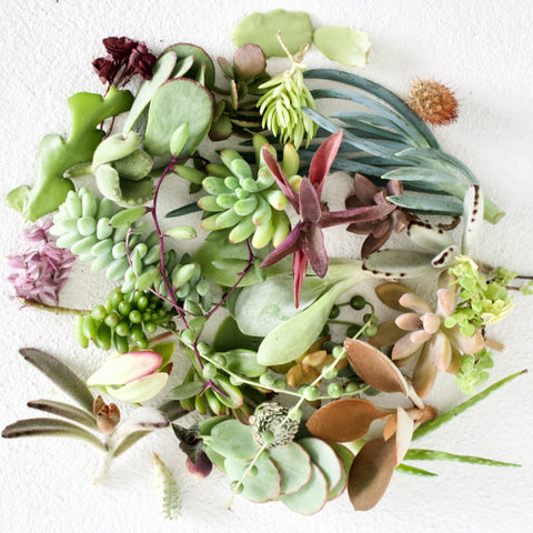 Bulk Succulent Cuttings