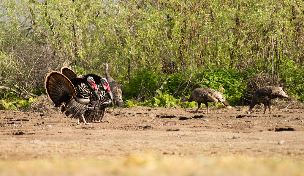 The Problem with Turkey Hunting