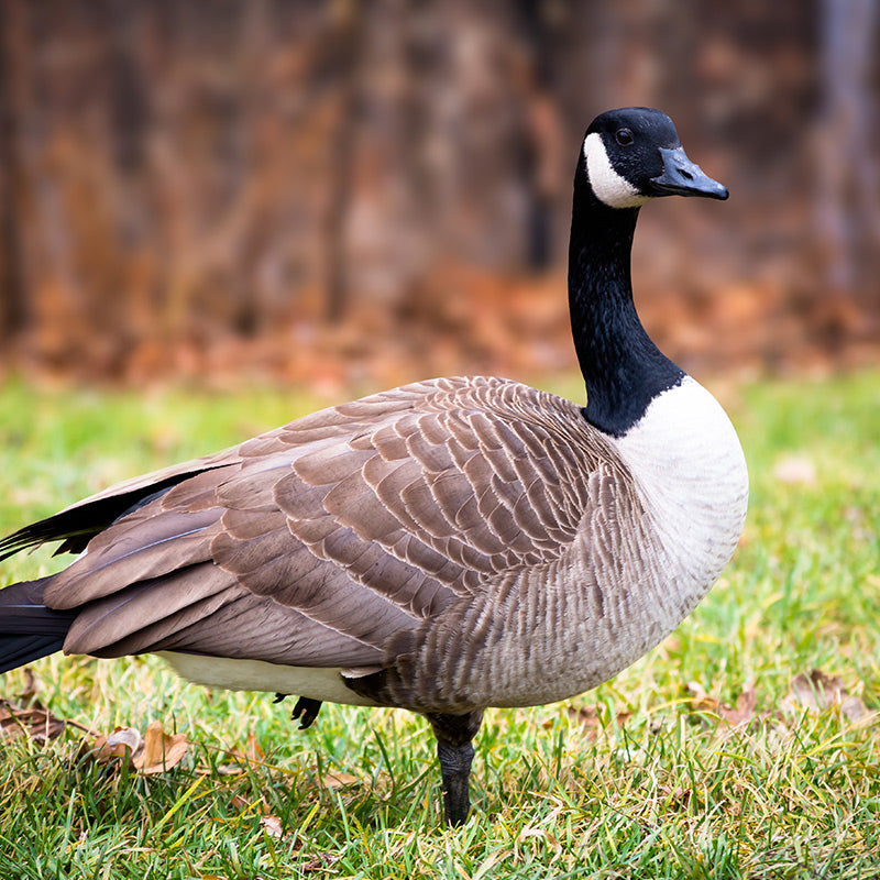 /collections/goose