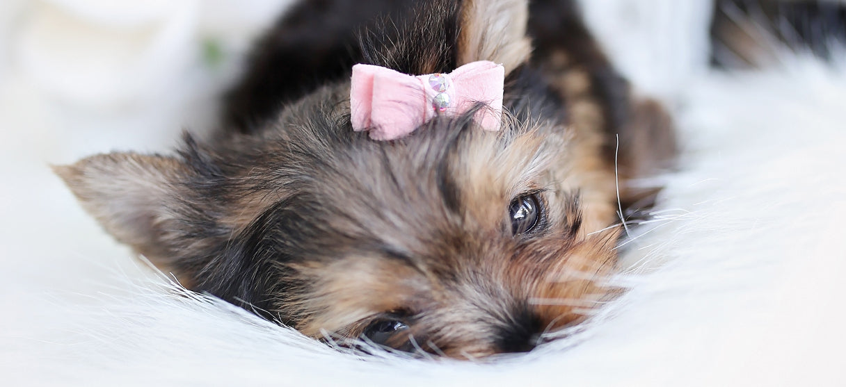 Dog Hair Bows and Small Dog Accessories