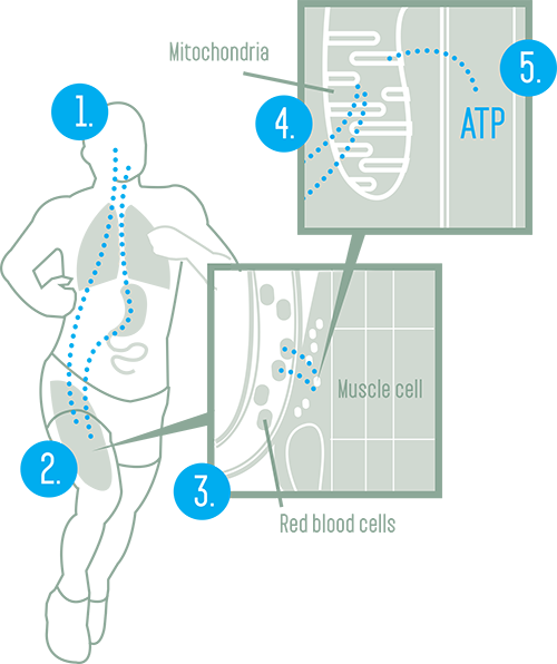 Oxygen in the Body Reference Chart