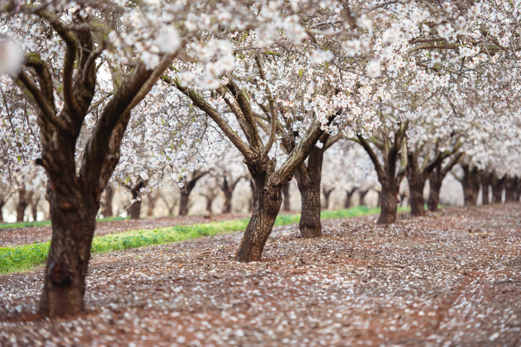 griffith flowers from local almond tree farm