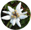 Edelweiss Extract for skin care serum and face mask. Natural skincare. Organic and clean skin care.