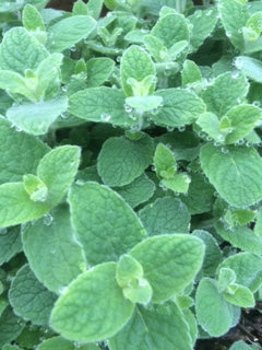 Mint, Atlas Mountain Mint (Mentha suaveolens subsp. Timija)