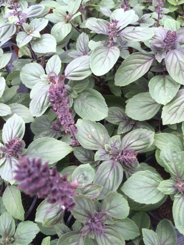 Basil: African Blue (Ocimum Kilimandscharicum) - The Culinary Herb Company