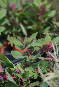 Spinach: Tree Spinach (Chenopodium giganteum) - The Culinary Herb Company