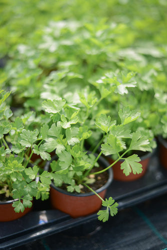 Parsley: Flat Leaf (Petroselinum crispum 'French')