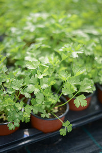 Parsley: Flat Leaf (Petroselinum crispum 'French') - The Culinary Herb Company